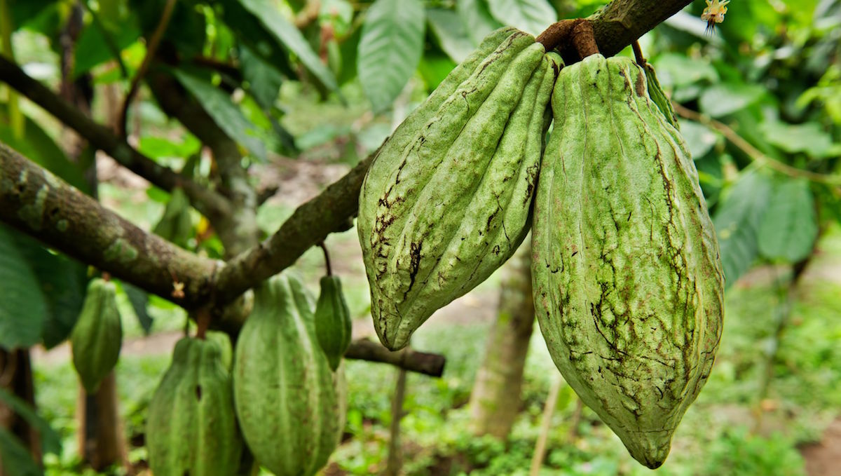 Cacao tree bean healthy chocolate